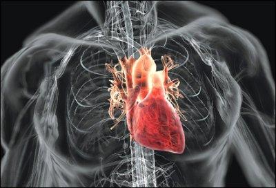 peran jantung bagi tubuh